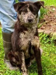 australian shepherd 10 months adopt reba nibbles package deal on tunica ms australian