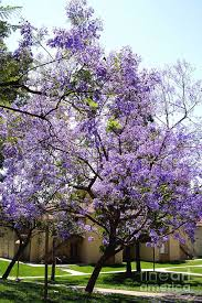 tree with purple flowers blooming tree with purple flowers photograph by mariola bitner