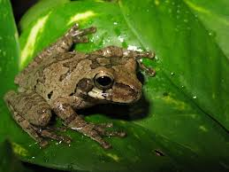 smilisca baudinii the mexican tree frog