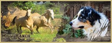 mdr1 australian shepherd mott ranch australian shepherd dogs