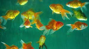 aquarium fish how it u0027s made youtube