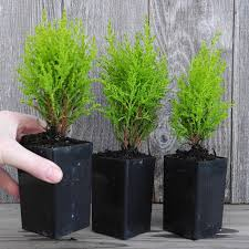 miniature or fairy garden tiny lemon cypress tree set of 3