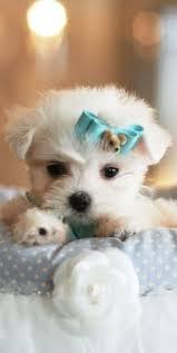 bichon frise for sale cheap puppies for sale site com puppiesforsale on pinterest