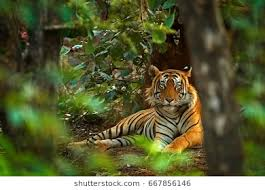 tiger in the jungle images stock photos vectors