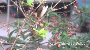 backyard birds youtube