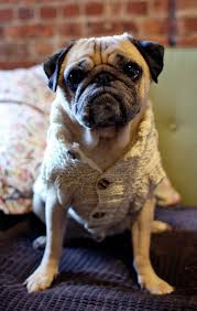 pug sweater pugs in sweaters pug slope archive sweater weather jp style