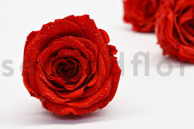 preserved roses preserved roses secondflor
