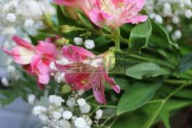 Peruvian Lily Peruvian Lily Images U0026 Stock Pictures Royalty Free Peruvian Lily