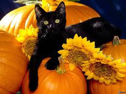black cat pumpkins sunflowers 212539 jpg