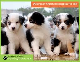 australian shepherd 4 sale australian shepherd jpg