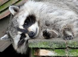 Raccoons In Backyard How Do I Evict Raiding Raccoons From My Backyard