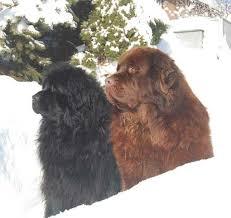e locus australian shepherd genomia testing of dogs locus b canine