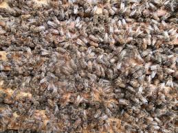 splitting a hive buzz beekeeping supplies