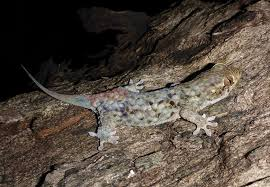 Seeking Lizard Review Newly Discovered Gecko Escapes Danger And Alive The New