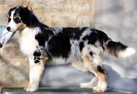 australian shepherd 3 mesi ca u0027 faggia allevamento australian shepherd pastore australiano