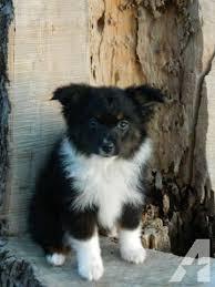 australian shepherd 10 weeks old asdr toy australian shepherd puppy for sale 10 weeks old for