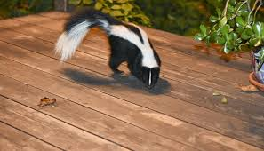 How Do You Get Rid Of Skunks In Your Backyard How To Get Rid Of Skunks Terminix