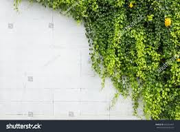 abstract green ivy plant on white stock photo 642261457 shutterstock