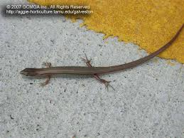 Big Lizard In My Backyard Beneficial Lizards In The Landscape 18 Skink Lizards