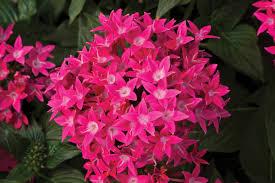 Pentas Flower Starcluster Rose Pentas Monrovia Starcluster Rose Pentas