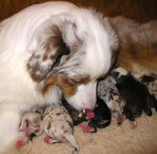 australian shepherd x corgi kinring stuart x zen litter 2011 newborn
