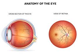 anatomy of the eye by top lasik specialist los angeles beverly