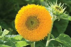 teddy sunflowers teddy sunflower seed johnny s selected seeds