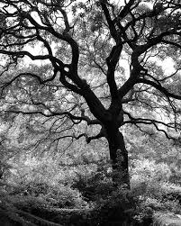 black and mighty trees eleven landscape photographs of majestic