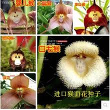 Monkey Orchids Compare Prices On Monkey Orchid Flower Online Shopping Buy Low