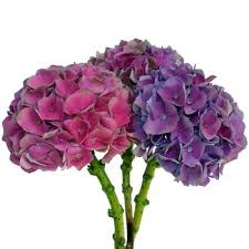 purple hydrangea hydrangea purple pink flower