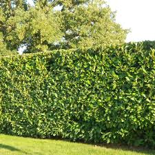 native hedging plants container grown cherry laurel hedging plants impact plants