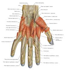 Anatomy Of The Shoulder Girdle Muscles Of The Arm And The Hand Anatomical Plates