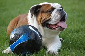 Mãªme In English - mister georges ou la vie d un bulldog anglais