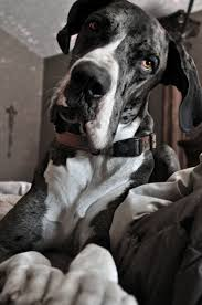 Great Dane Home Decor 702 Best Great Danes Images On Pinterest Animals Dogs And Great