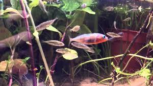 british native plants uk native stickleback biotope youtube