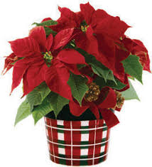 christmas plant about poinsettia care information walter knoll florist