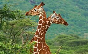 giraffe chair owan