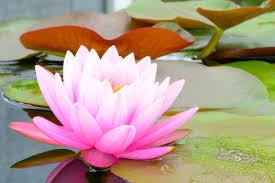 Lotus Flower Bloom - lotus flower meaning flower meaning
