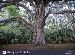 very old oak tree close up stock photo royalty free image