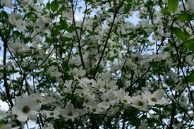 file white tree flowers west virginia forestwander jpg