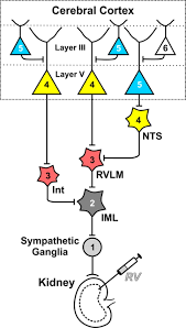 Ucsd Maps The Hidden Visceromotor Maps In Motor Cortex Ucsd Neurosciences