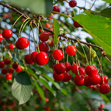 cherry tree for sale fast growing trees