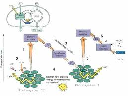 What Happens During The Light Reactions Of Photosynthesis Image002 Jpg