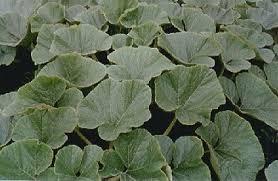 Squash Plant Diseases Pictures - pumpkin plant diseases how to grow pumpkins by pumpkin nook