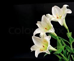 Lilly Flowers Lily Flowers Bouquet On Black Background Stock Photo Colourbox