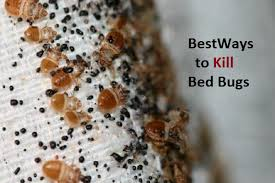 how can you get rid of bed bugs how to kill bed bugs naturally