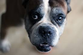 boxer dog jaw hypothyroidism in dogs symptoms and treatment