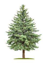 pine tree stock photos pictures royalty free pine tree images