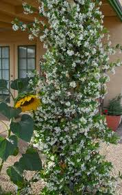 10 plants you can u0027t kill soil type jasmine and indoor