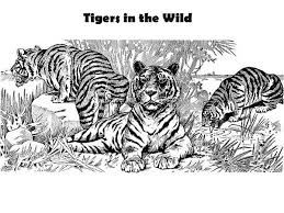 coloring page tigers three tigers and its pact coloring page download print online